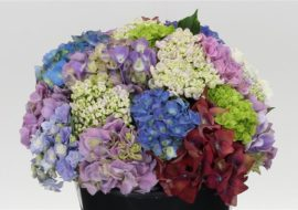 HORTENSIA MIX 2